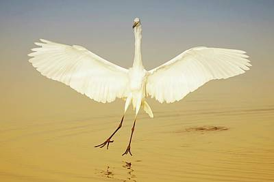 Lori A Cash Royalty-Free and Rights-Managed Images - Great Egret Landing at Sunrise by Lori A Cash