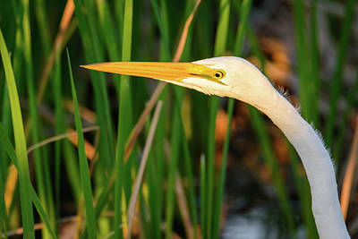 Design Pics - Great Egret Profile by Debra Martz