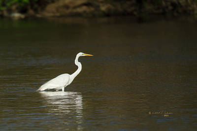 Animals Royalty-Free and Rights-Managed Images - Great Egret Reflection by Edward Peterson