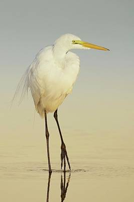 Lori A Cash Royalty-Free and Rights-Managed Images - Great Egret Walking at Sunrise by Lori A Cash