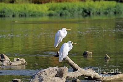Animal Portraits - Great Egrets 3550 by Jack Schultz