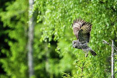 Photograph - Great Grey's Taking Off by Torbjorn Swenelius