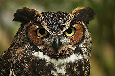 Lori A Cash Royalty-Free and Rights-Managed Images - Great Horned Owl Close Up by Lori A Cash