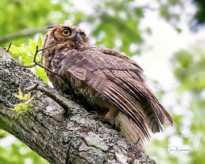 Dan Beauvais Rights Managed Images - Great Horned Owl Juvenile #1912 Royalty-Free Image by Dan Beauvais