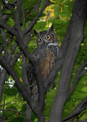 Animals Royalty-Free and Rights-Managed Images - Great Horned Owl by Marlin and Laura Hum