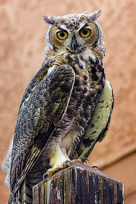 Mark Myhaver Rights Managed Images - Great Horned Owl v173212-3 Royalty-Free Image by Mark Myhaver