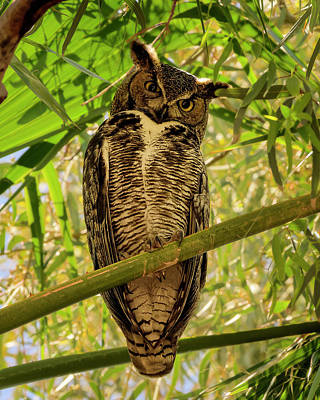 Mark Myhaver Photo Rights Managed Images - Great Horned Owl v2007 Royalty-Free Image by Mark Myhaver