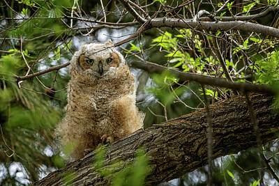 Animals Royalty-Free and Rights-Managed Images - Great Horned Owlet at Malheur HQ by Belinda Greb