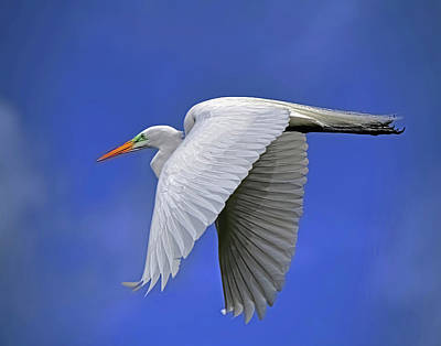 Graduation Sayings - Great White Egret by Stuart Harrison