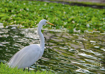 David Bowie Royalty Free Images - Great White Heron, ardea herodias occidentalis, in the Largo Royalty-Free Image by Norm Lane