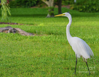 David Bowie Royalty Free Images - Great White Heron, ardea herodias occidentalis Royalty-Free Image by Norm Lane