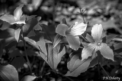 Royalty-Free and Rights-Managed Images - Great White Trilliums by Phill Doherty