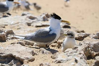 Winter Animals - Greater Crested Tern with Chick by Michaela Perryman