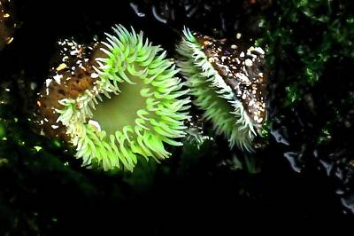 Jerry Sodorff Royalty-Free and Rights-Managed Images - Green Anemone 2 by Jerry Sodorff