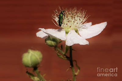 Wild Horse Paintings - Green Beetle on a Rose by Terri Waters