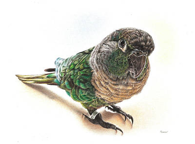 Animals Drawings - Green Cheek Conure by Casey