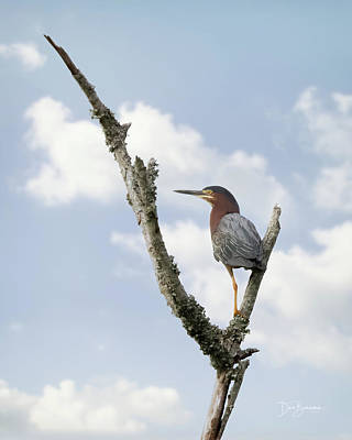 Dan Beauvais Rights Managed Images - Green Heron #9340 Royalty-Free Image by Dan Beauvais