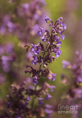 David Bowie Royalty Free Images - Green Sweat Bee on a Catmint Flower Royalty-Free Image by Diane Diederich
