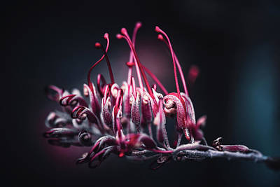 Photograph - Grevillea Robyn Gordon by Philippe Sainte-Laudy