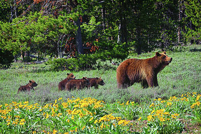 Photograph - Grizzly 399 and Four Cubs by Greg Norrell