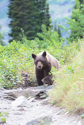 Staff Picks Judy Bernier Rights Managed Images - Grizzly Bear Royalty-Free Image by Greg Wyatt