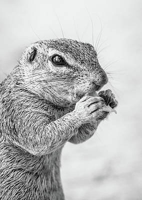 Animals Digital Art - Ground Squirrel Feeding by Celestial Images