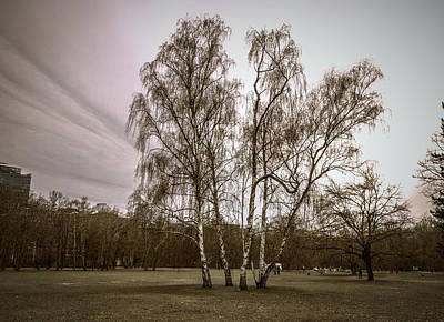 Photograph -  Group of Birch Trees in Berlin Tiergarten by Sean Patrick Durham