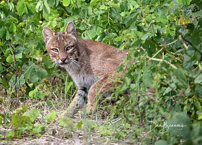 Dan Beauvais Royalty Free Images - Guarded Bobcat 5416 Royalty-Free Image by Dan Beauvais