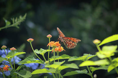 Bath Time Rights Managed Images - Gulf Fritillary Follies II Royalty-Free Image by Suzanne Gaff