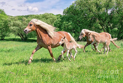 Photograph - Haflinger Mares with Foals Running by Katho Menden