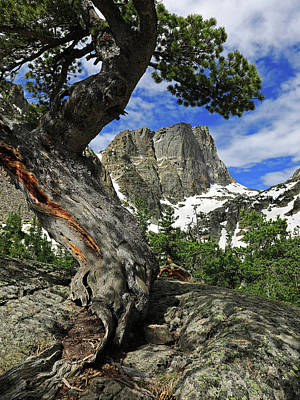 Landscapes Royalty-Free and Rights-Managed Images - Hallett Peak Tree by Dan Sproul