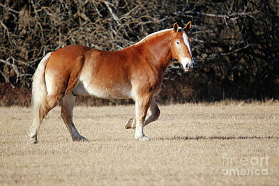 Sports Royalty-Free and Rights-Managed Images - Handsome Draft Horse by Lynn Sprowl