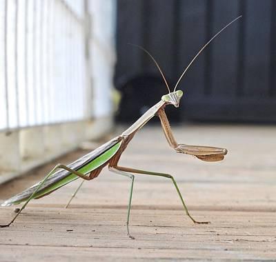 Photograph - Posing Praying Mantis by Kathy Ozzard Chism