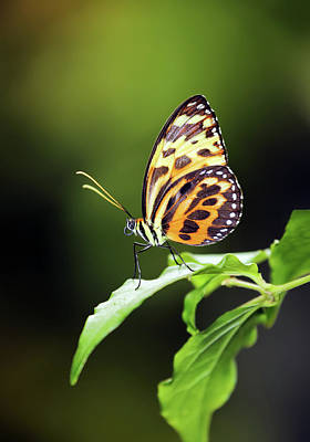 Animals Royalty-Free and Rights-Managed Images - Harmonia Tiger Wing by Grant Glendinning