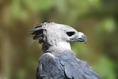 Granger - Harpy Eagle Panama National Bird by Marlin and Laura Hum