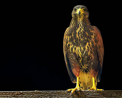 Mark Myhaver Rights Managed Images - Harris Hawk h2031 Royalty-Free Image by Mark Myhaver