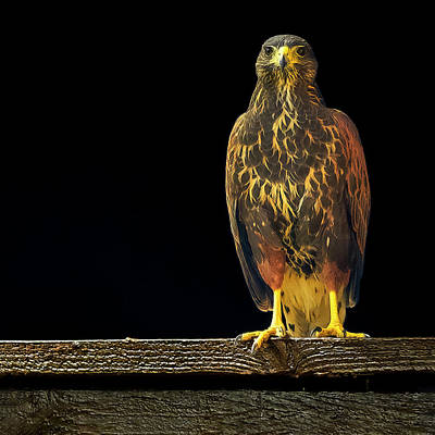 Mark Myhaver Rights Managed Images - Harris Hawk s2031 Royalty-Free Image by Mark Myhaver