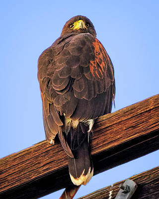 Mark Myhaver Rights Managed Images - Harris Hawk v1900 Royalty-Free Image by Mark Myhaver