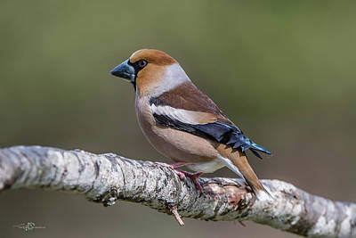 Priska Wettstein Land Shapes Series - Hawfinch perching on the oak branch by Torbjorn Swenelius