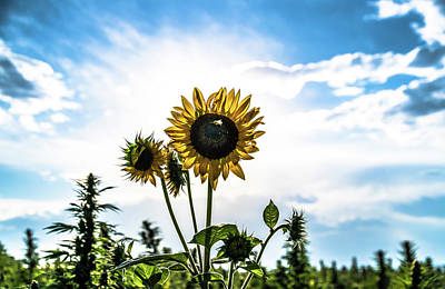 Landscapes Royalty-Free and Rights-Managed Images - Hemp Field Sunflower by Hemp Landscapes