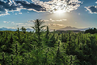 Landscapes Royalty-Free and Rights-Managed Images - Hemp Field Sunset 128 by Hemp Landscapes