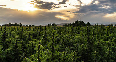 Landscapes Royalty-Free and Rights-Managed Images - Hemp Field Sunset 11 by Hemp Landscapes