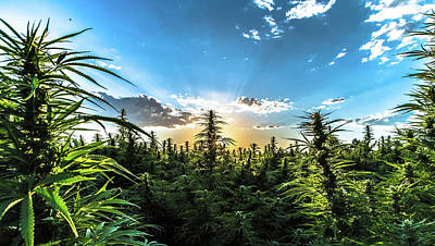 Landscapes Royalty-Free and Rights-Managed Images - Hemp Field Sunset 69 by Hemp Landscapes