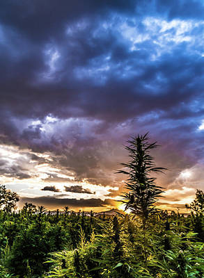 Landscapes Royalty-Free and Rights-Managed Images - Hemp Field Sunset 76 by Hemp Landscapes