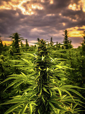 Landscapes Royalty-Free and Rights-Managed Images - Hemp Field Sunset 28 by Hemp Landscapes