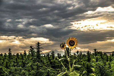 Landscapes Royalty-Free and Rights-Managed Images - Hemp Field Sunset Sunflower 39 by Hemp Landscapes