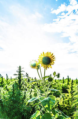 Landscapes Royalty-Free and Rights-Managed Images - Hemp Sunflower 2 by Hemp Landscapes