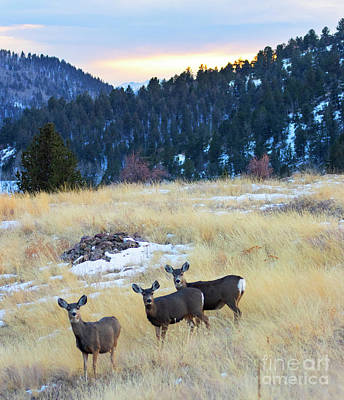 Steven Krull Royalty-Free and Rights-Managed Images - Herd of Mule Deer in the Colorado Wintertime by Steven Krull