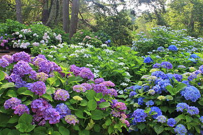 Vintage Movie Stars - Heritage Gardens Hydrangeas by John Burk