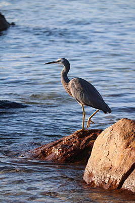 Animals Photos - Heron on a Rock by Michaela Perryman